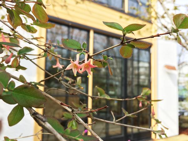 ウグイスカグラ花