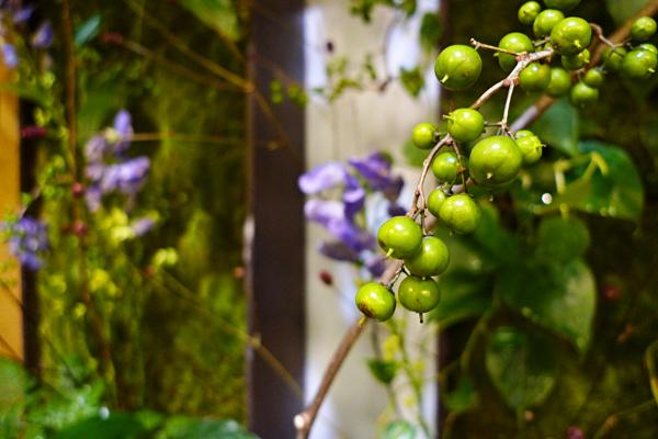 ツルウメモドキ_タテニワ壁面緑化