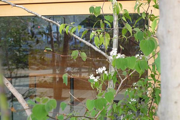 窓際のハイノキ