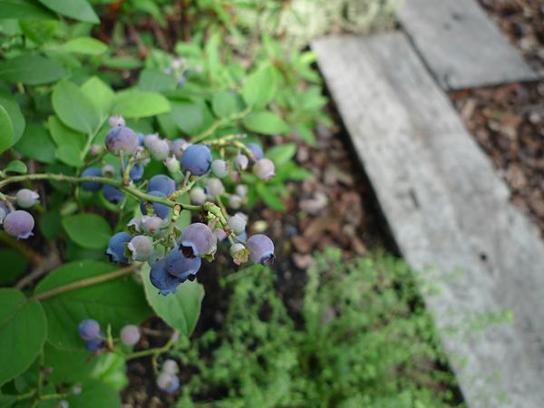 blueberry643_2_600450