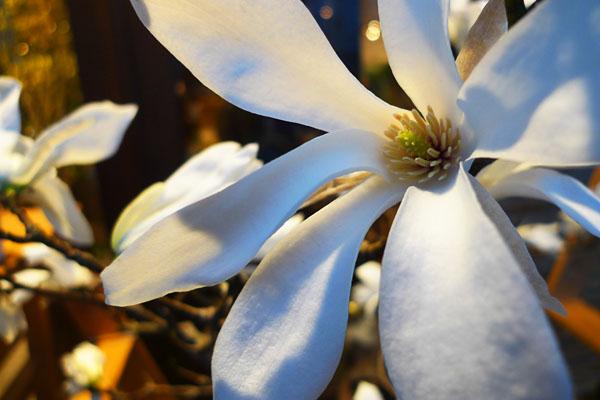 コブシ_magnolia_kobus