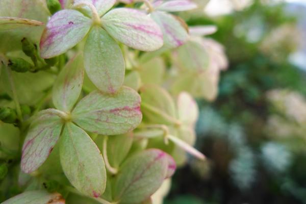 色付いたノリウツギの花2_クリニックの庭