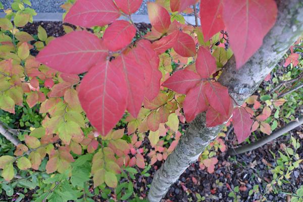 ナツハゼの紅葉と実_クリニックの庭