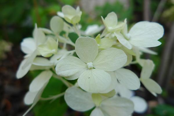 ノリウツギの花_クリニックの庭