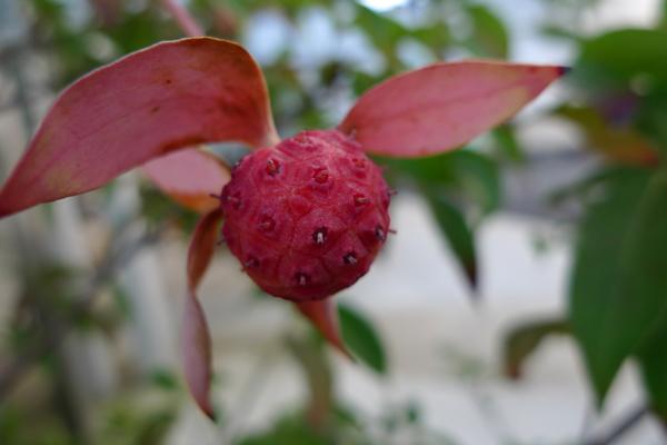 トキワヤマボウシの実_クリニックの庭