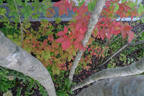 ナツハゼ紅葉_クリニックの庭